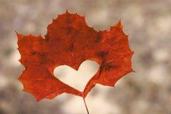 Foglia di acero arancio con il primo piano tagliato del cuore, fondo di autunno fotografia stock libera da diritti