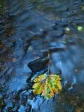 Foglia di acero arancio sulla pietra muscosa sotto il livello dell'acqua aumentato.  Immagine Stock