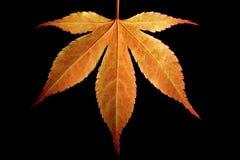 Foglia di acero arancione Fotografia Stock