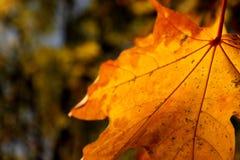 Foglia di acero arancione Fotografie Stock