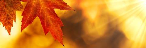 Foglia di acero di autunno immagini stock