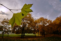 Foglia di acero cadente durante l'autunno Fotografie Stock Libere da Diritti