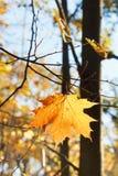 Foglia di acero caduta sul ramoscello in autunno Immagini Stock Libere da Diritti