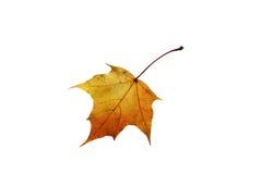 Foglia di acero canadese rossa dorata luminosa Immagine Stock Libera da Diritti