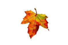Foglia di acero canadese rossa dorata luminosa Fotografia Stock Libera da Diritti