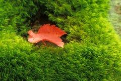Foglia di acero canadese su muschio Fotografia Stock