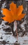 Foglia di acero di colore arancio che appende sulla betulla fotografie stock libere da diritti