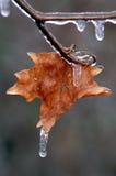 Foglia di acero con il ghiacciolo Fotografia Stock
