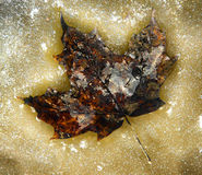 Foglia di acero congelata Fotografie Stock