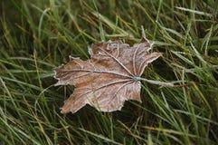 Foglia di acero congelata su un'erba Immagine Stock Libera da Diritti
