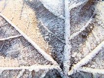 Foglia di acero coperta di gelo 4 Immagini Stock