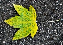 Foglia di acero di autunno Immagine Stock