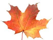 Foglia di acero di autunno Fotografia Stock Libera da Diritti