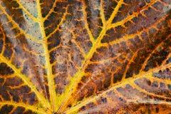 Foglia di acero di autunno, fuoco selettivo Immagini Stock Libere da Diritti