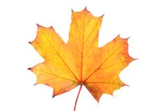 Foglia di acero di autunno isolata su priorità bassa bianca Immagine Stock