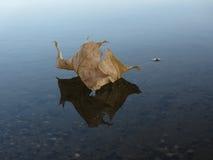 Foglia di acero di galleggiamento fotografie stock libere da diritti
