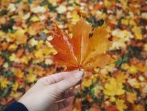 Foglia di acero a disposizione, fondo vago delle foglie Immagine Stock Libera da Diritti