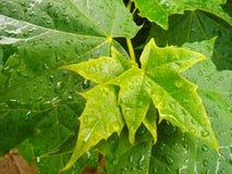 Foglia di acero dopo pioggia fotografie stock