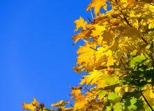 Foglia di acero dorata del cielo blu Fotografia Stock