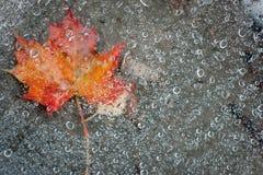 Foglia di acero e gocce di pioggia fotografia stock