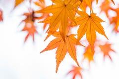 Foglia di acero e ramo arancio fotografia stock