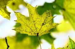 Foglia di acero gialla fotografia stock libera da diritti