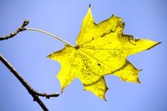 Foglia di acero gialla immagini stock libere da diritti