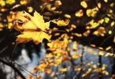 Foglia di acero gialla Immagini Stock