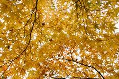 Foglia di acero gialla nella stagione di autunno Immagini Stock