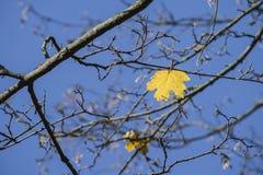 Foglia di acero gialla sola sul fondo del cielo blu Immagini Stock