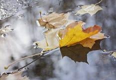 Foglia di acero gialla su acqua fotografie stock libere da diritti
