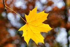 Foglia di acero gialla su un fondo vago degli alberi di autunno Stagione di caduta, autunno, concetto del ciclo della natura Immagini Stock