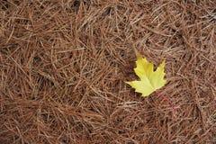 Foglia di acero gialla sugli aghi di White Pine Immagine Stock