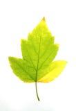 Foglia di acero giallo verde, Immagine Stock Libera da Diritti