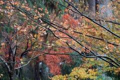 Foglia di acero giapponese rossa ed arancio sul ramo dell'albero dopo pioggia con il giardino di autunno del fondo Fotografia Stock