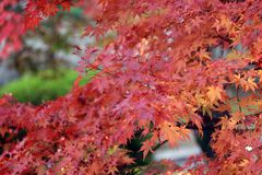 Foglia di acero giapponese rossa sul ramo dell'albero con luce solare Immagine Stock