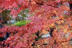Foglia di acero giapponese rossa sul ramo dell'albero con luce solare Immagini Stock