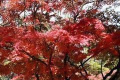 Foglia di acero giapponese rossa sul ramo dell'albero nel giardino Fotografia Stock Libera da Diritti