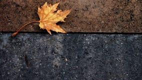 Foglia di acero isolata Fotografia Stock