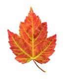 Foglia di acero nel fogliame di autunno Fotografie Stock