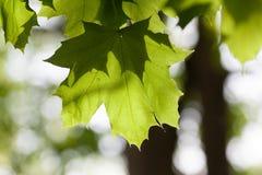 Foglia di acero in primavera Fotografie Stock Libere da Diritti