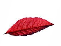 Foglia di acero rossa Immagine Stock