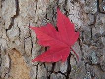 Foglia di acero rossa Fotografia Stock