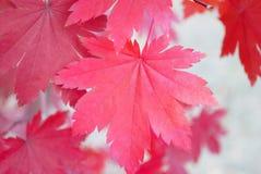 Foglia di acero rossa Fotografia Stock Libera da Diritti