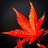Foglia di acero rossa in autunno Fotografia Stock Libera da Diritti