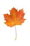Foglia di acero rossa di autunno isolata su fondo bianco Fotografia Stock