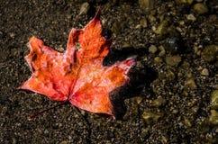 Foglia di acero rossa fuori dall'albero Fotografie Stock Libere da Diritti