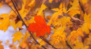 Foglia di acero rossa isolata su fondo di altri foglie gialle n fotografia stock