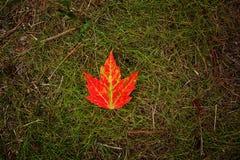 Foglia di acero rossa luminosa su erba verde Fotografia Stock