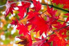 Foglia di acero rossa nel Giappone durante l'Autumn Season fra i settembre a novembre Fotografia Stock